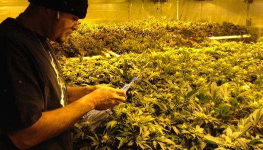 Legalizada la marihuana en Colorado
