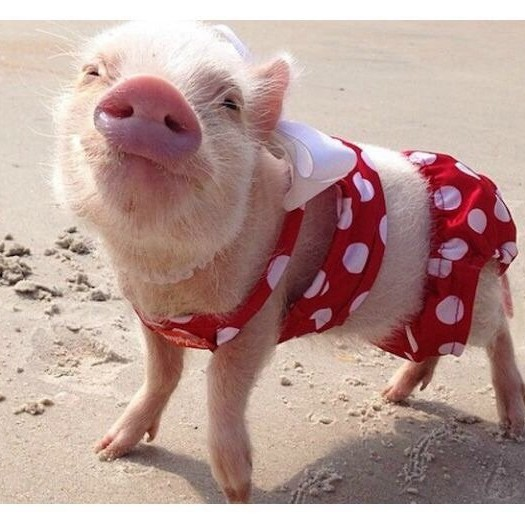 20-of-the-most-fashionable-pigs-youve-ever-seen-10